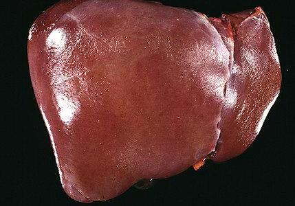 real human liver - healthy - human anatomical models | human, Human body