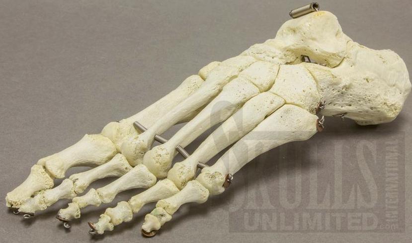 Human skeleton foot - photo#20