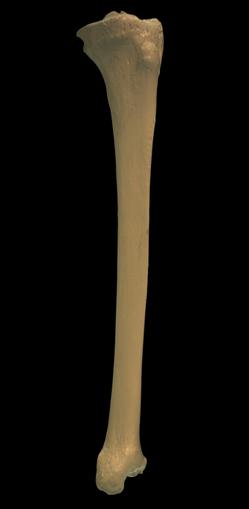 tibia bone - human - real - please call for pricing - human, Human body